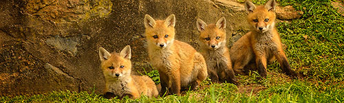 fox-kit-photos-jim-graham