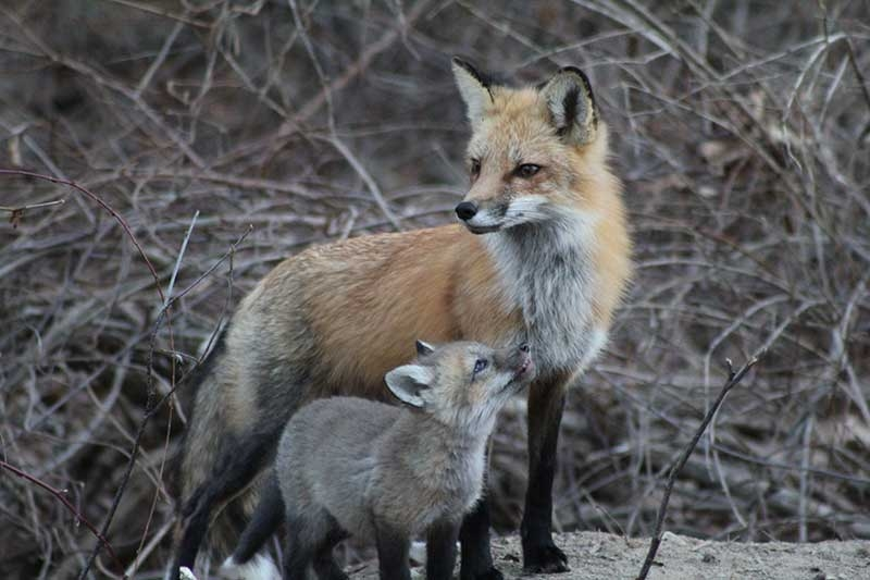 March29,-2011-Foxes-145