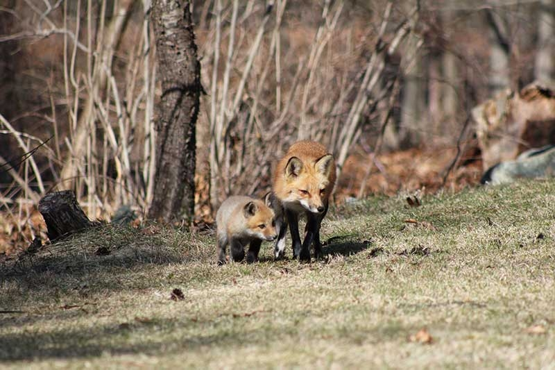 spring-foxes-2011-315