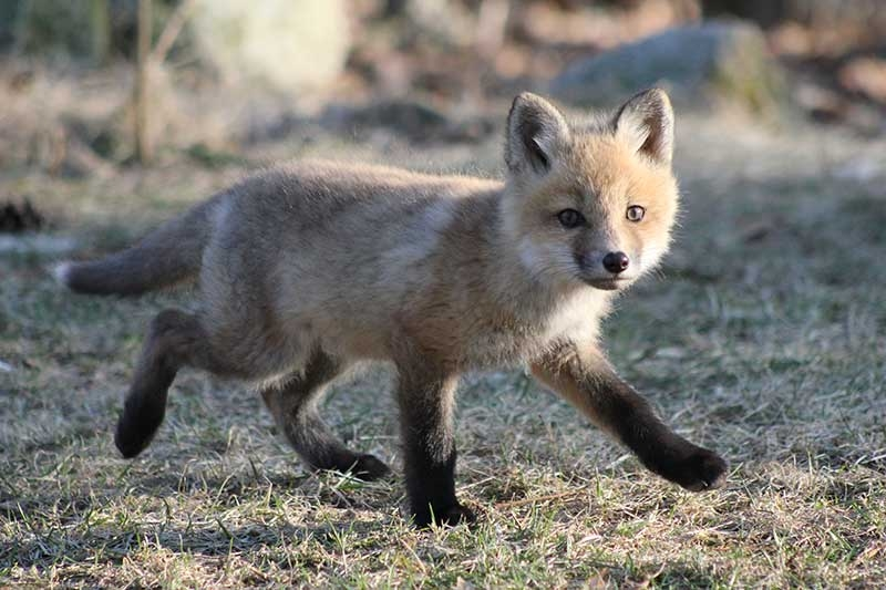 spring-foxes-2011-586