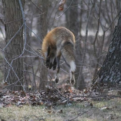 Mary Marks' Fox Photos