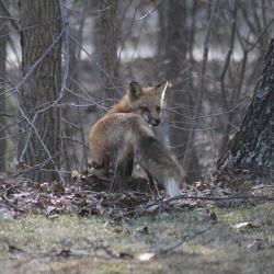 Foxes-march-30-2011-132
