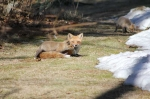 March29,-2011-Foxes-016