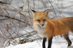 spring-foxes-2011-141