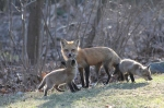 spring-foxes-2011-500