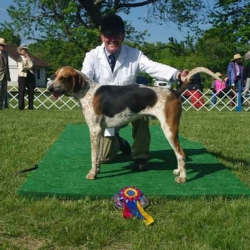 Crossbred Foxhound Champion