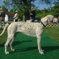 English Foxhound Champion