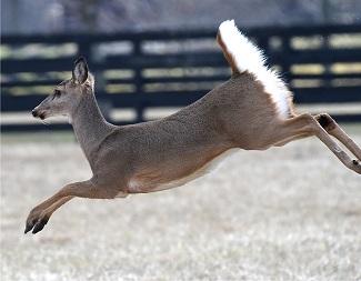 deer.lees