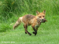 Rosedale Fox - Hi Hampton photo
