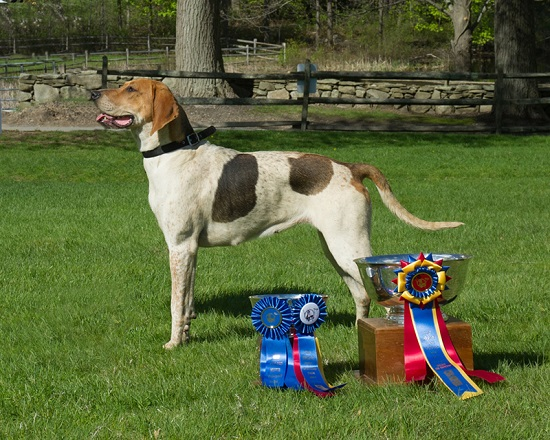 Myopia-Lupy-grand-champion-foxhound-new-england-hound-show.shawn.tinkham