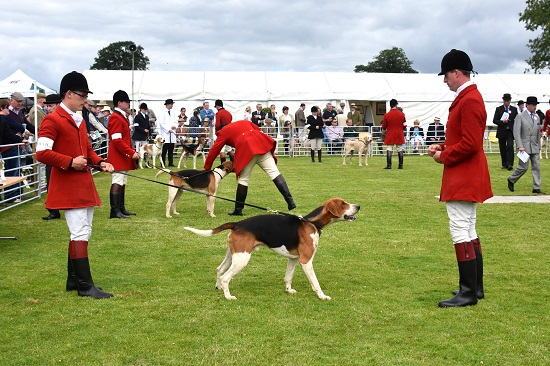 PHOTO HOUNDS County Louth Old English hound shown by huntsman Alan Reilly