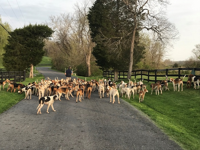 deep run and blue ridge hounds on exercise