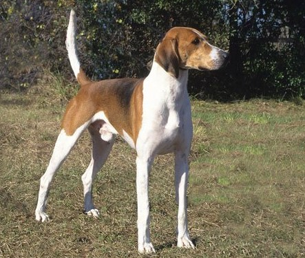 foxhound.american