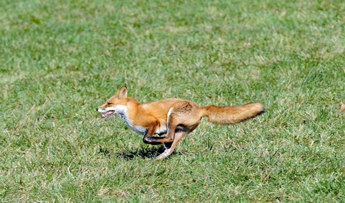 casanova fox.richard clay.small