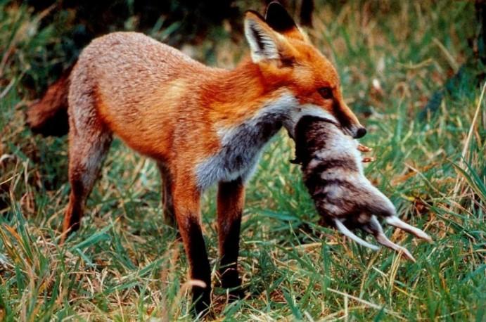 austrlian fox