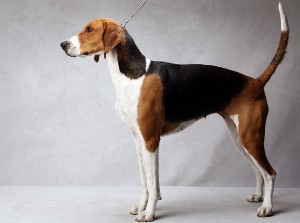 jewel.akc american foxhound