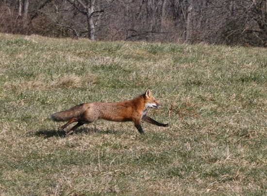 fox.crop.houliston