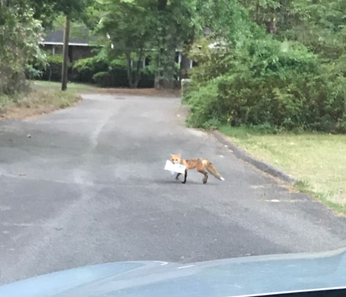 fox with paper