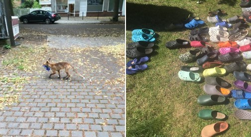 german fox hoards stolen shoes