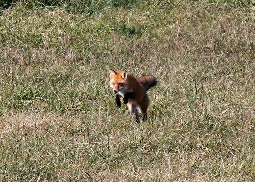 hunting fox.small.houliston
