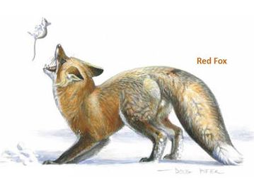 red fox.pifer
