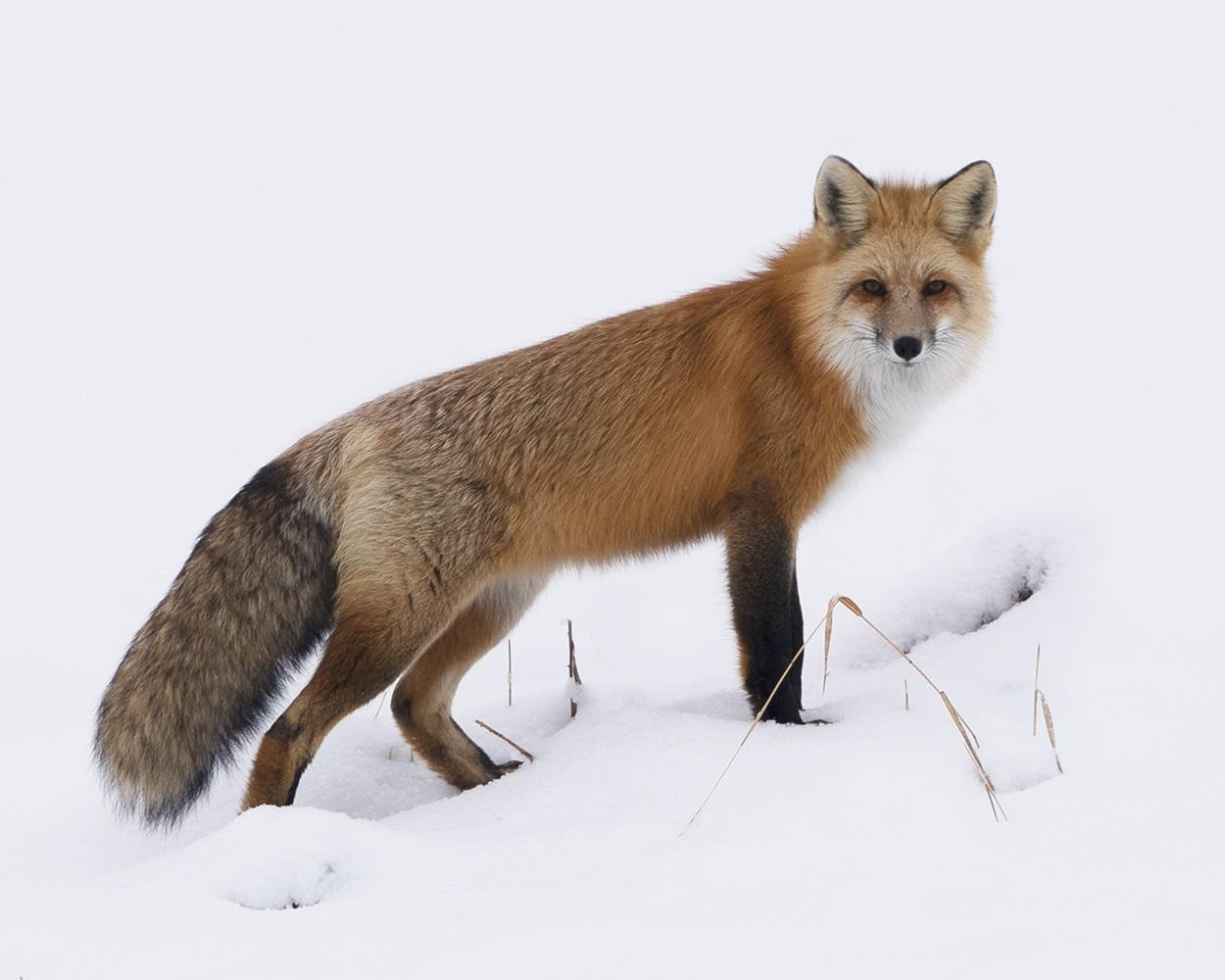 Red Fox_MCR-212_2X0A9225.tiff