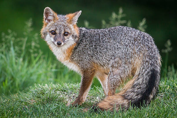 Grey fox with orange-red fur highlights, prominently displaying it's tail. Grassy foreground, green gradient background.