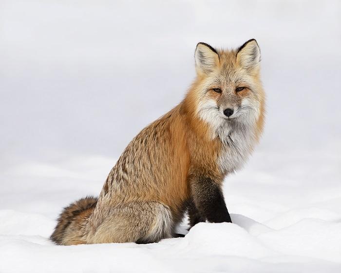 Red Fox_MCR-257_2X0A0750.tiff